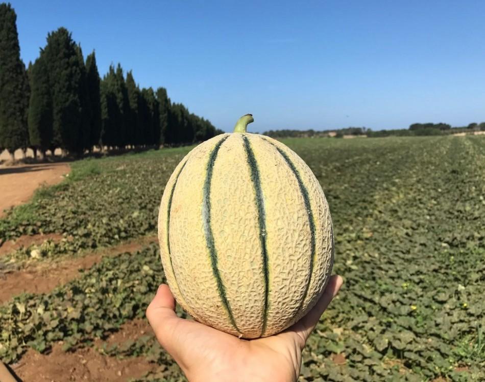 Melone Retato Italiano Solgem RZ
